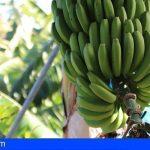Canarias abona 74,8 millones a los productores de plátano con IGP y tomate de exportación