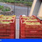 Tenerife   Arranca la vendimia en las DOP Islas Canarias e Ycoden Daute Isora