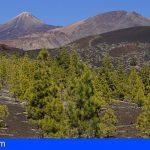Transición Ecológica estudiará la salud de las repoblaciones de pinar canario